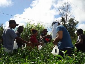 国頭村奥での茶摘み体験
